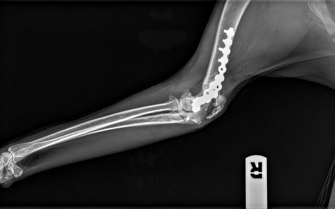 Fisioteràpia veterinària en el tractament d'una fractura de colze